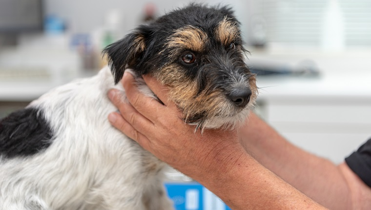 Vet examines a dog - Jack Russell Terrier
