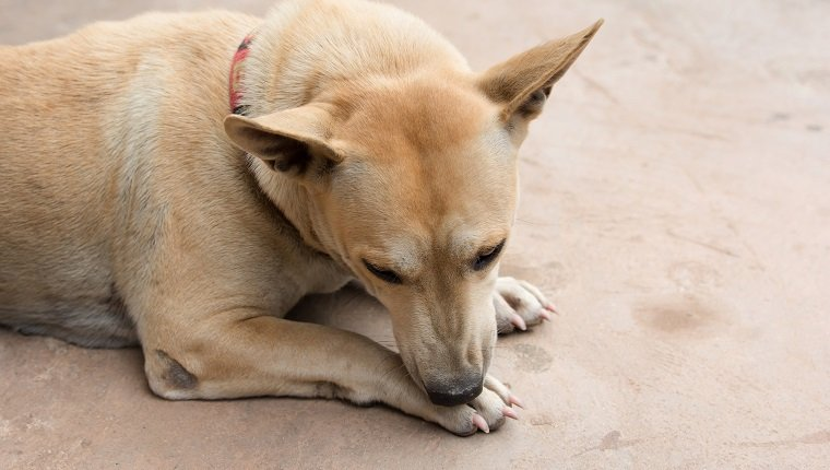 Dog licking his paw on cement floor.