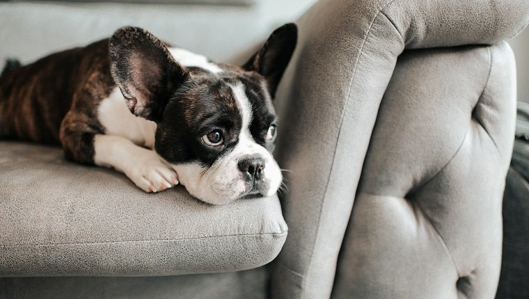 a bored french bulldog lying down and resting on sofa looking outside. might need psyllium for tummy troubles.