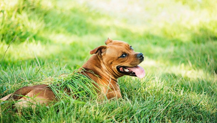 Staffordshire bull terrier cooling down on the grass in the shade after almost getting a heat stroke.