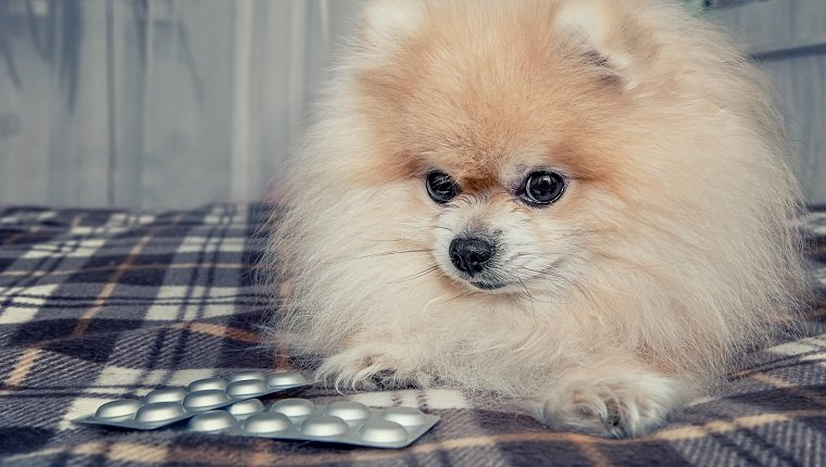 Sick Pomeranian puppy ate a lot of chocolate lying next to the pills for treatment after a visit to the veterinary clinic. The treatment and care of dogs. The horizontal frame.