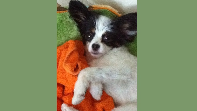 Piper the Papillon