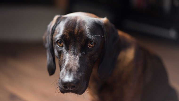 Studio shot of dog looking sad. May have canine herpes virus.