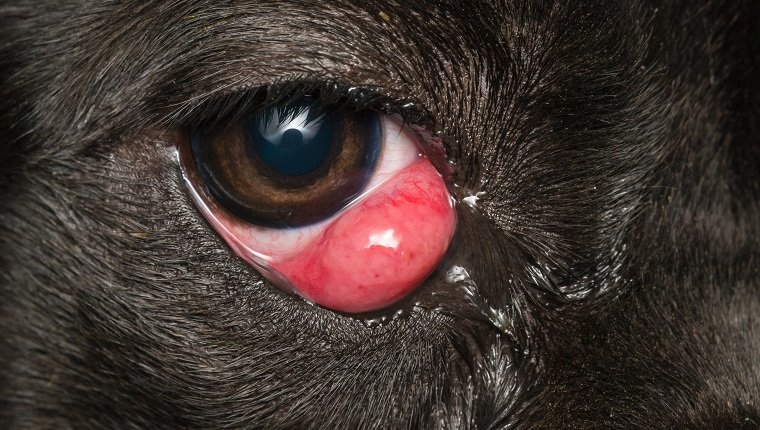 close-up photo of a black dog with cherry eye, cane corso dog breed