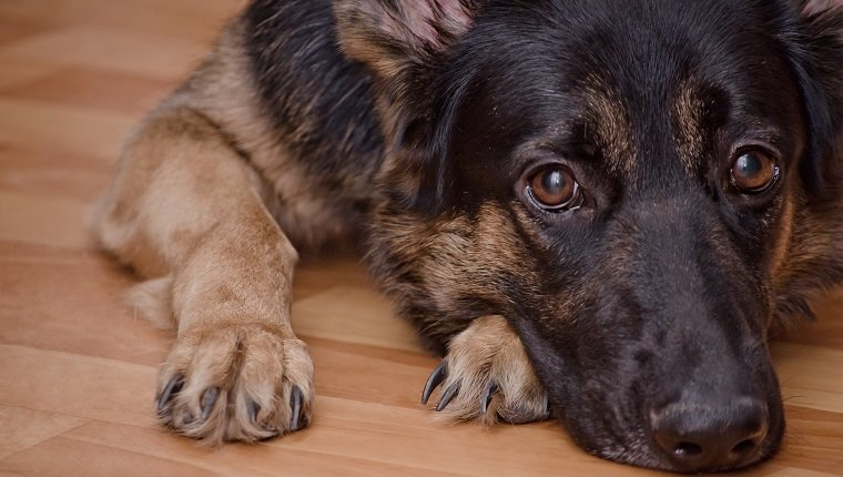 Sad dog lying on the floor and waiting (selective focus on the dog eyes) as the Missing You concept. GSDs are prone to elbow dysplasia.