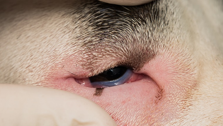 close-up photo of a dog with entropion