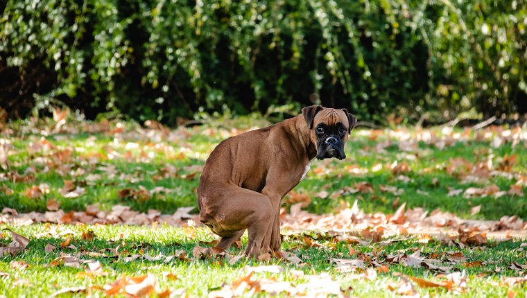 boxer pooping, may have fecal impaction