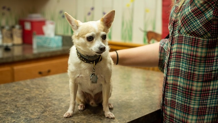 A scared tan and white Chihuahua sitting on the exam table at a vet clinic with the hands of its owner petting and reassuring him.