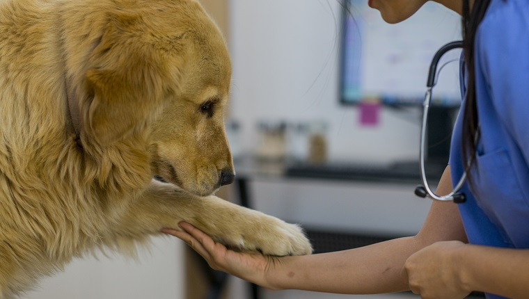 A veterinarian is taking care of a golden retriever at a check up.