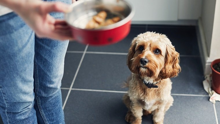 Woman feeding her pet dog training him to wait for his food