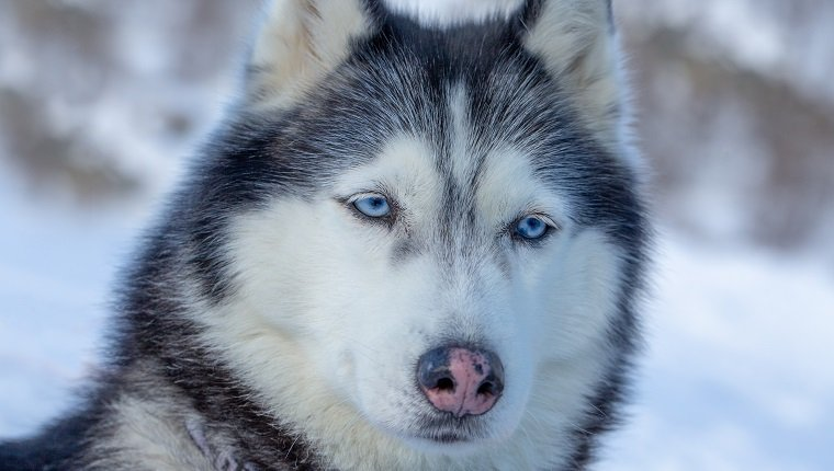 Portrait of a dog with blue eyes and a pink nose. Blue-eyed husky from the sled dog team