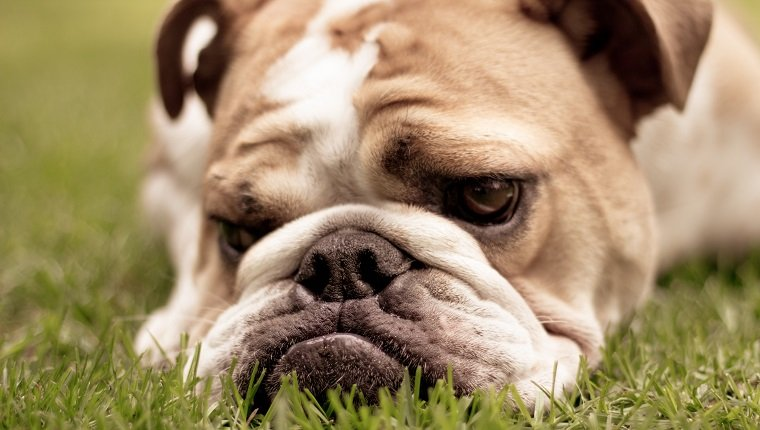 A cute English Bulldog laying in the grass looking sad. Shallow depth of field. Focus on mouth.