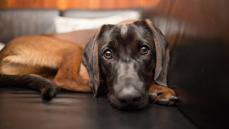Beautiful brown Bavarian Mountain Hound on sofa looking directly into the camera. May have sinusitis.