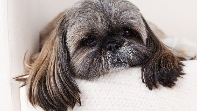 Closeup of an old and sick shih-tzu dog. Shih tzus are prone to tracheal collapse.
