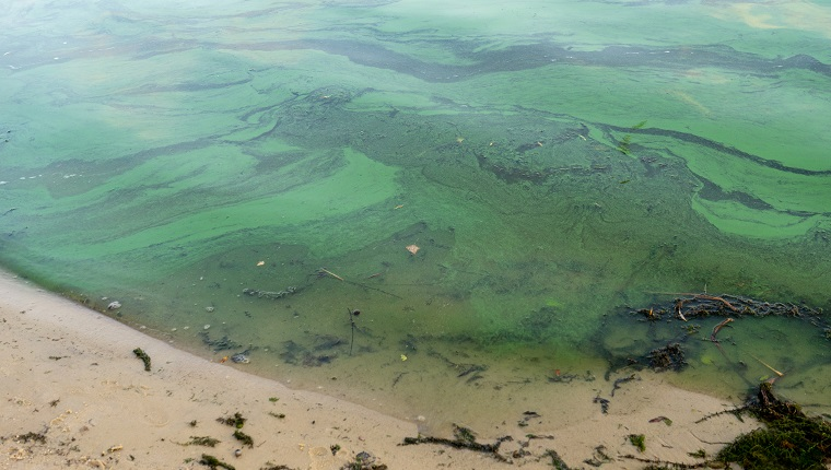 Green water polluted with blue-green algae Cyanobacteria