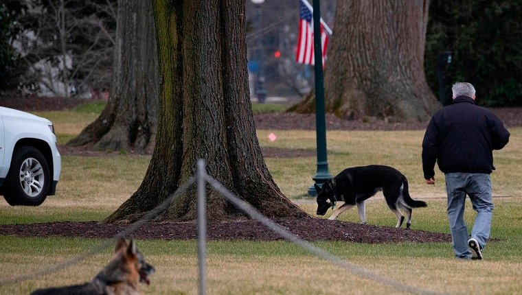"""First dogs Champ and Major Biden are seen on the South Lawn of the White House in Washington, DC, on January 25, 2021. - Joe Biden's dogs Champ and Major have moved into the White House, reviving a long-standing tradition of presidential pets that was broken under Donald Trump. The pooches can be seen trotting on the White House grounds in pictures retweeted by First Lady Jill Biden's spokesman Michael LaRosa, with the pointed obelisk of the Washington Monument in the background.""""Champ is enjoying his new dog bed by the fireplace, and Major loved running around on the South Lawn,"""" LaRosa told CNN in a statement on January 25, 2021. (Photo by JIM WATSON / AFP)"""