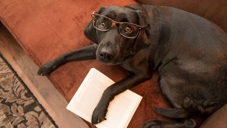 Smart dog with glasses reading a book on sofa