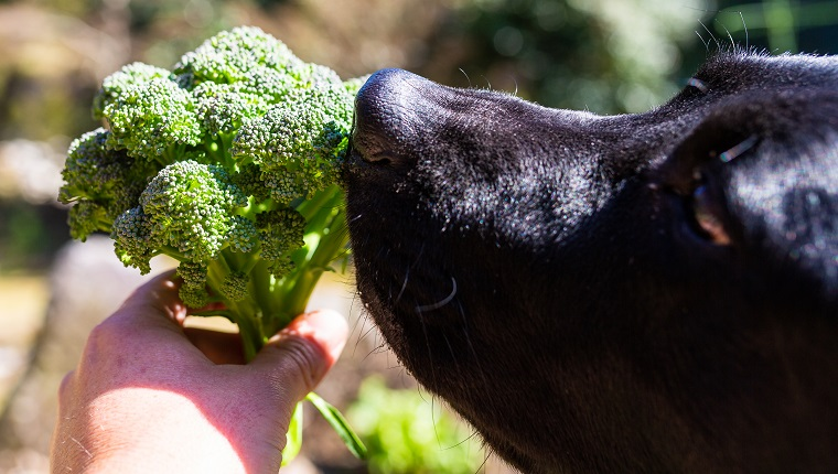 A close up of a black lab dog smelling a freshly picked broccoli