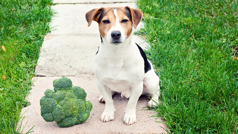 Jack russell Terrier Dog sitting with broccoli outdoor and looking at camera Can pet eat broccoli concept