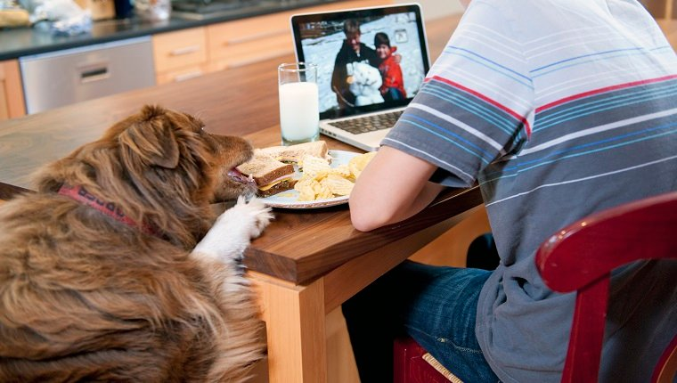 teen boy sitting at kitchen counter working on computer while eating lunch. Pet dog jumping up on counter and taking sandwich off his plate.