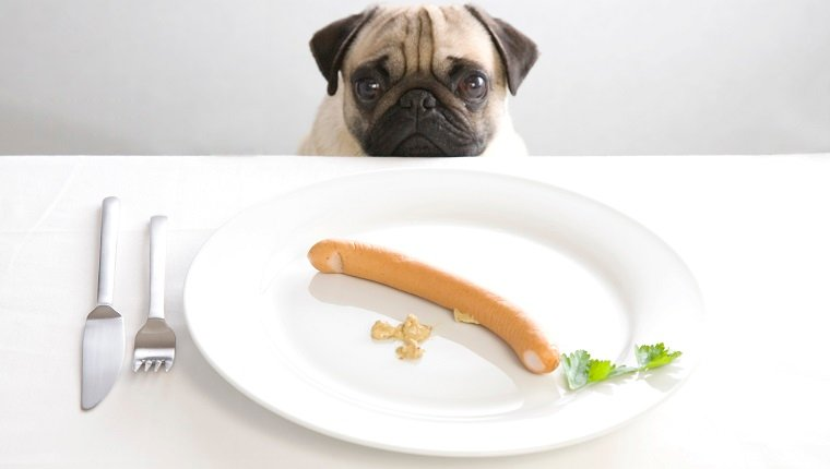 Young pug posing behind a plate with a sausage