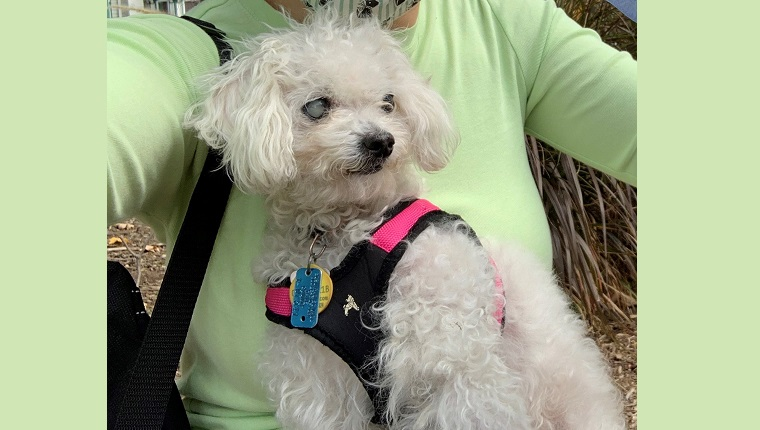 Leia is a small dog and needs a harness for walks.