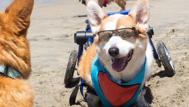 Handicapped Pembroke Welsh Corgi enjoying the beach on wheels.
