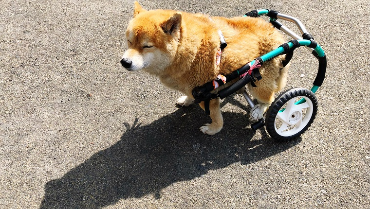 High Angle View Of Dog With Wheelchair On Road
