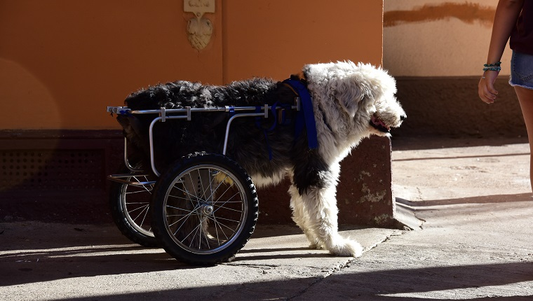 An Old English Sheepdog on a wheelchair in Valparaiso