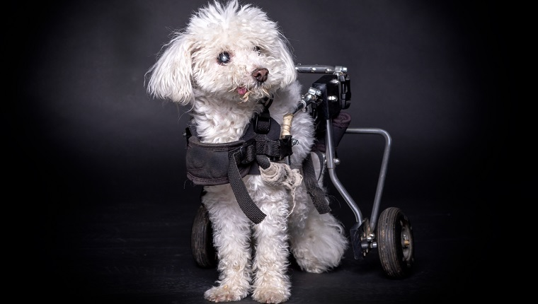 little and old white dog in wheelchair or cart sitting and posing on black backdrop.