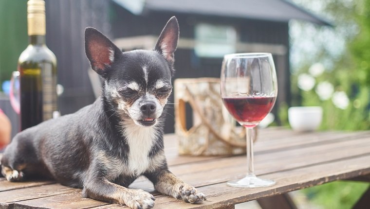 A chihuahua resting on a outdoor table with a glass of wine. Alcohol is toxic for dogs.