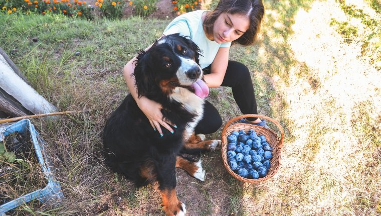Young girl picking plums with his bernese mountain dog