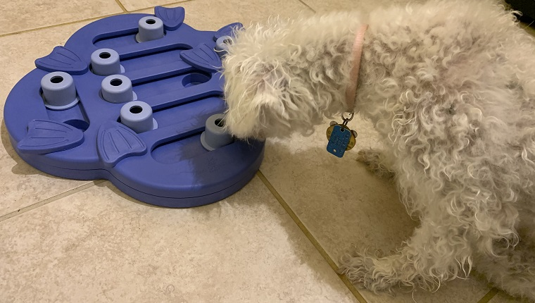 Leia sniffing her new puzzle toy