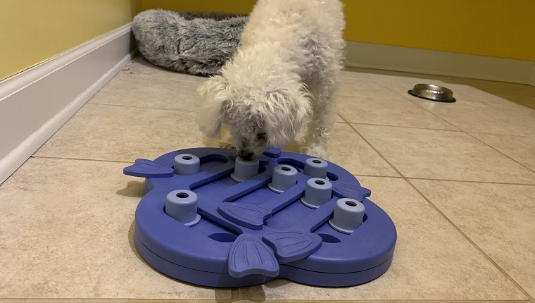 Leia figuring out her treat puzzle toy