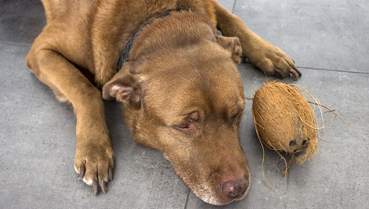 Brown Labrador dog laying on gray tiled floor. Dog playing with coconut.