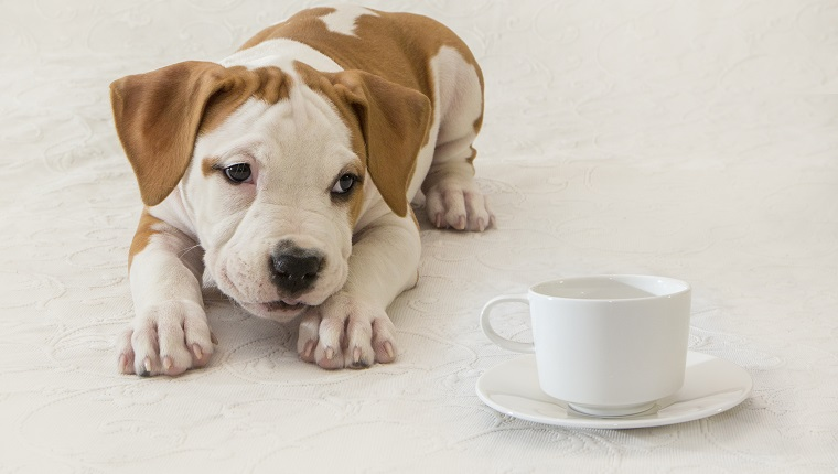 Puppy, Newborn, Dog, Pet, Close-up, American Staffordshire Terrier, cup of coffee / tea, tea invitation. How bad is tea for dogs?
