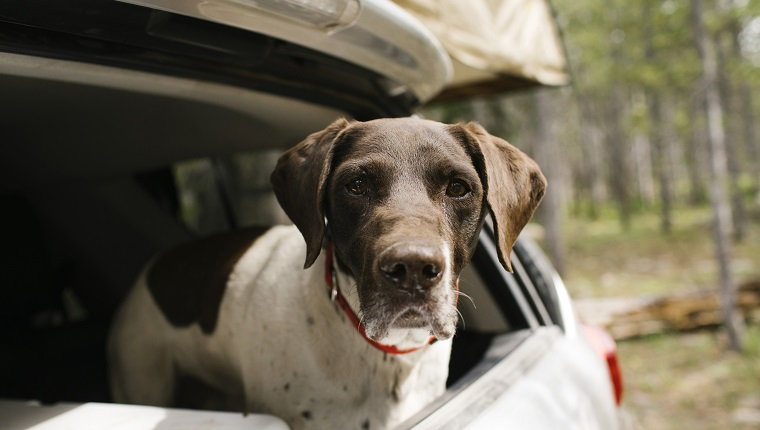 German Shorthaired Pointer in the trunk of the car on the campsite, Wasatch-Cache National Forest