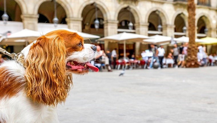 Close up side view of Cavalier King Charles Spaniel in Barcelona