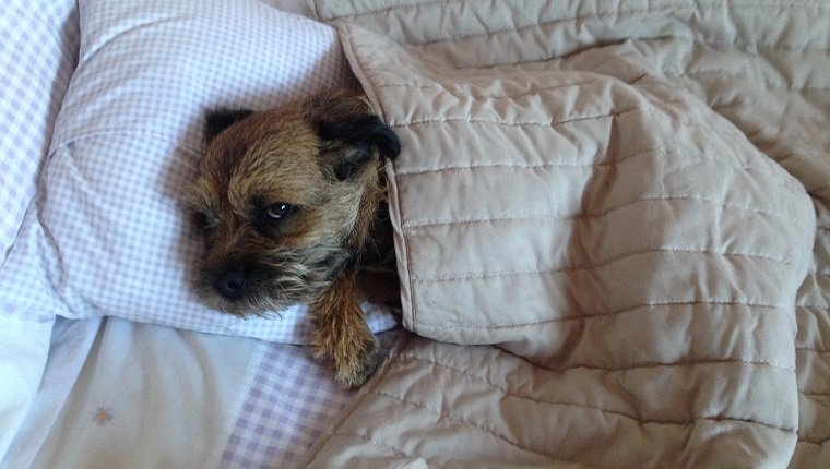 High Angle View Of Border Terrier Lying On Bed At Home