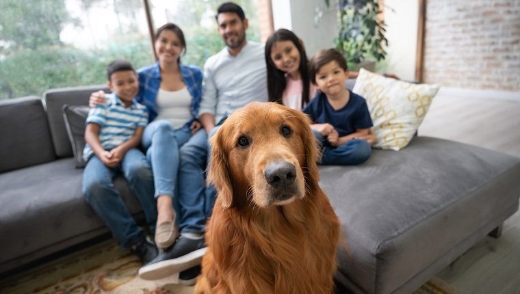 Portrait of beautiful golden retriever and family sitting on sofa in the background all facing the camera smiling very happy