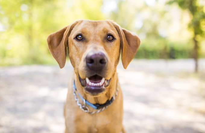 The average body temperature for a dog is 101.2 degrees Fahrenheit.