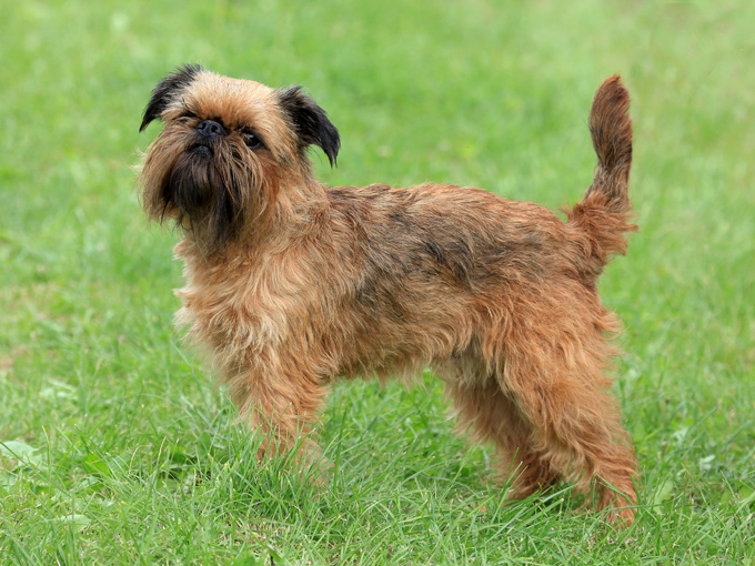 Shih Tzus were not the inspiration for Ewoks in 'Star Wars: Return of the Jedi', it was actually the Brussels Griffon.