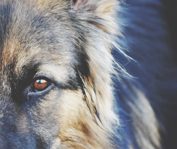 A dog can sense when a person is going to have an epileptic seizure up to 45 minutes before it happens.