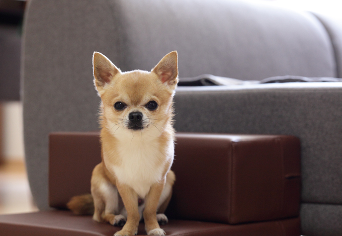 The Taco Bell Chihuahua was actually a rescue dog named Gidget.