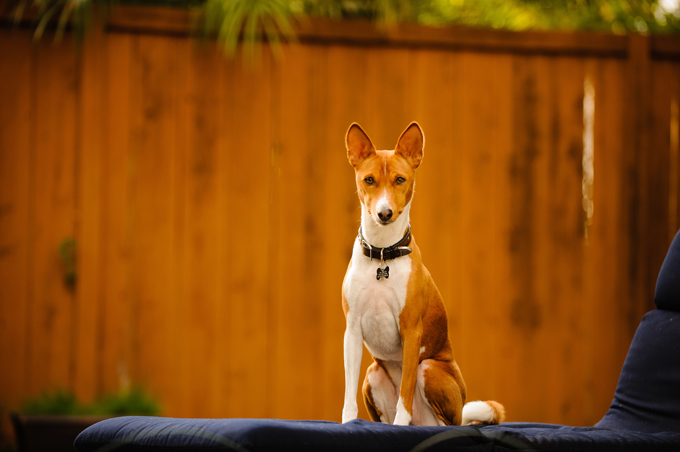Basenjis are the only dogs who don't bark. They do, however, make other vocal noises.