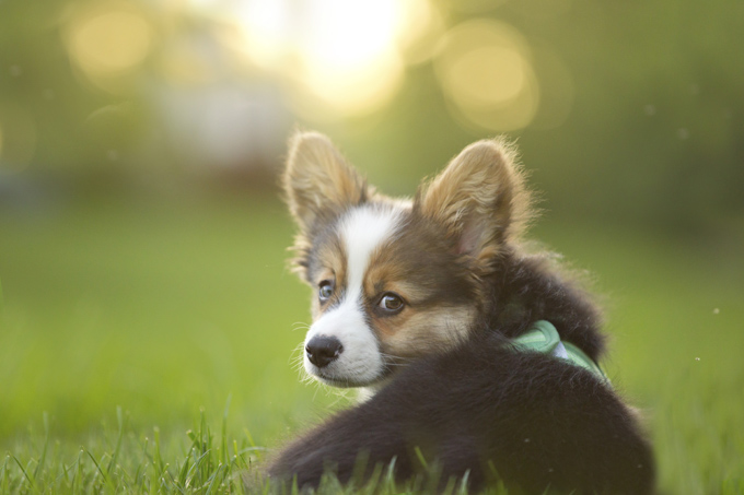 A dog's sense of hearing is over ten times more accurate than that of a person.