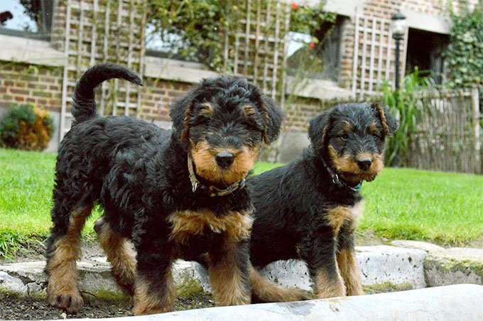 Airedale Terrier Dog Breed Picture