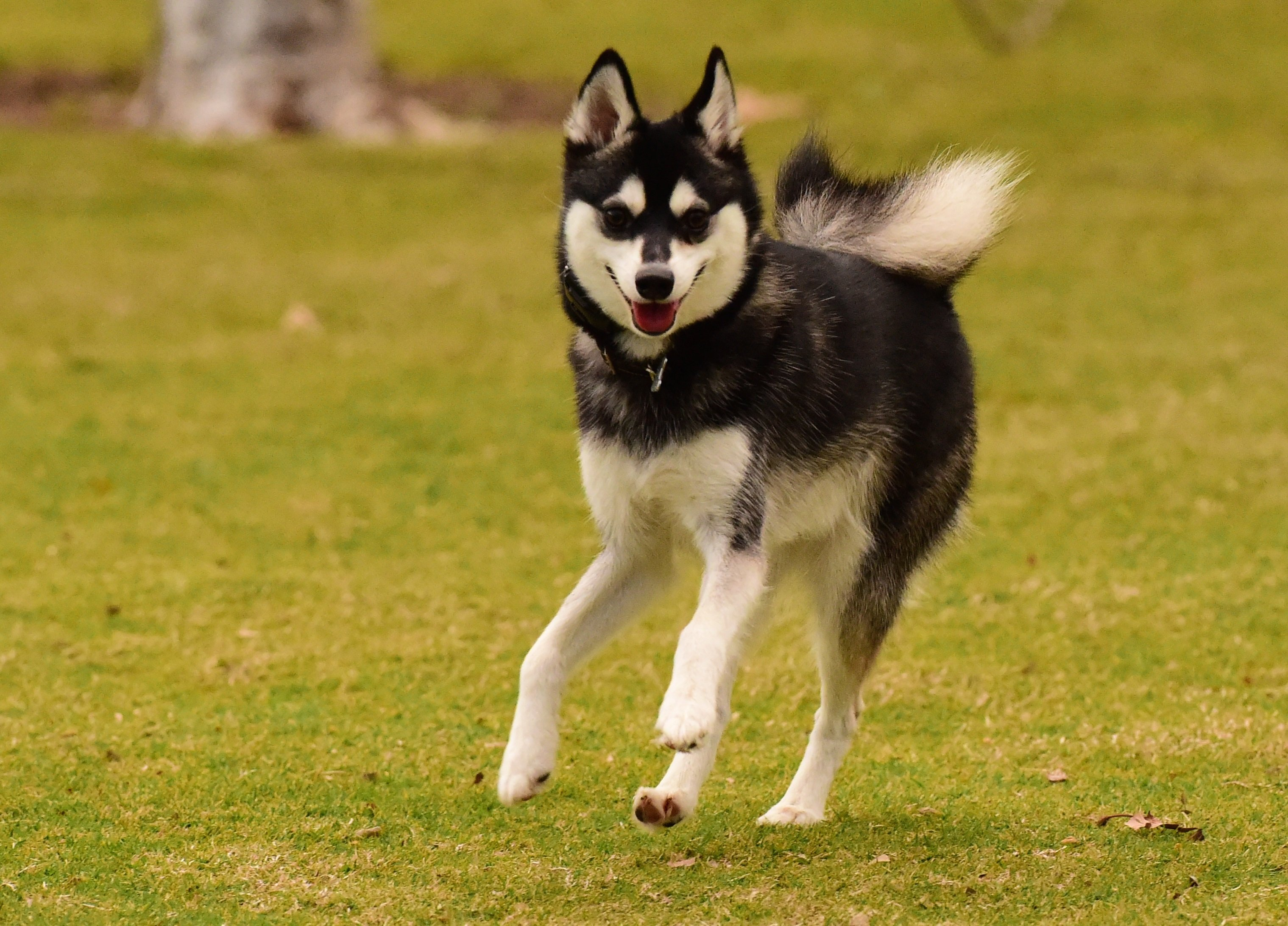 Alaskan Klee Kai Dog Breed Pictures
