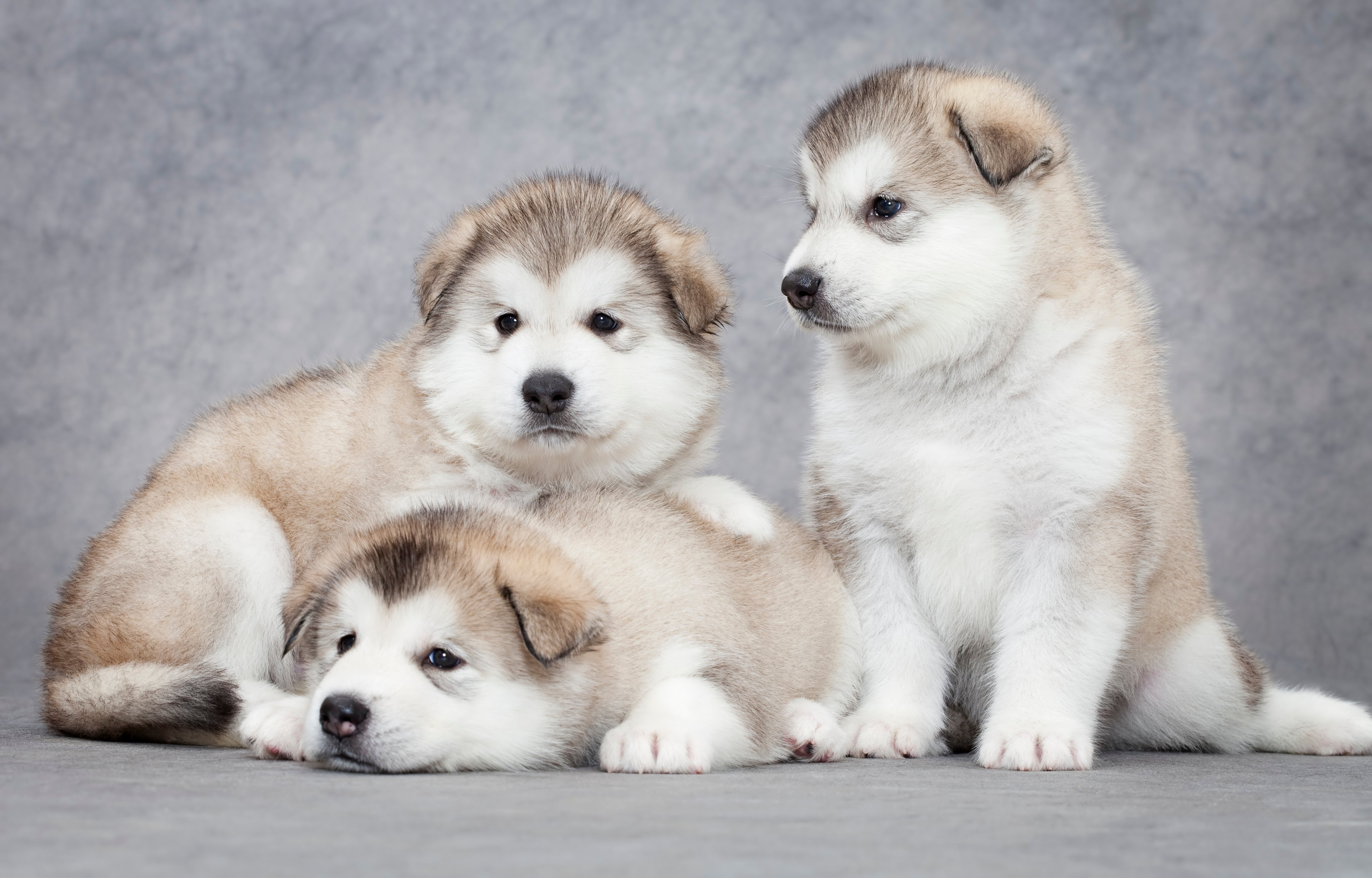 Pictures Of Alaskan Malamute Puppies