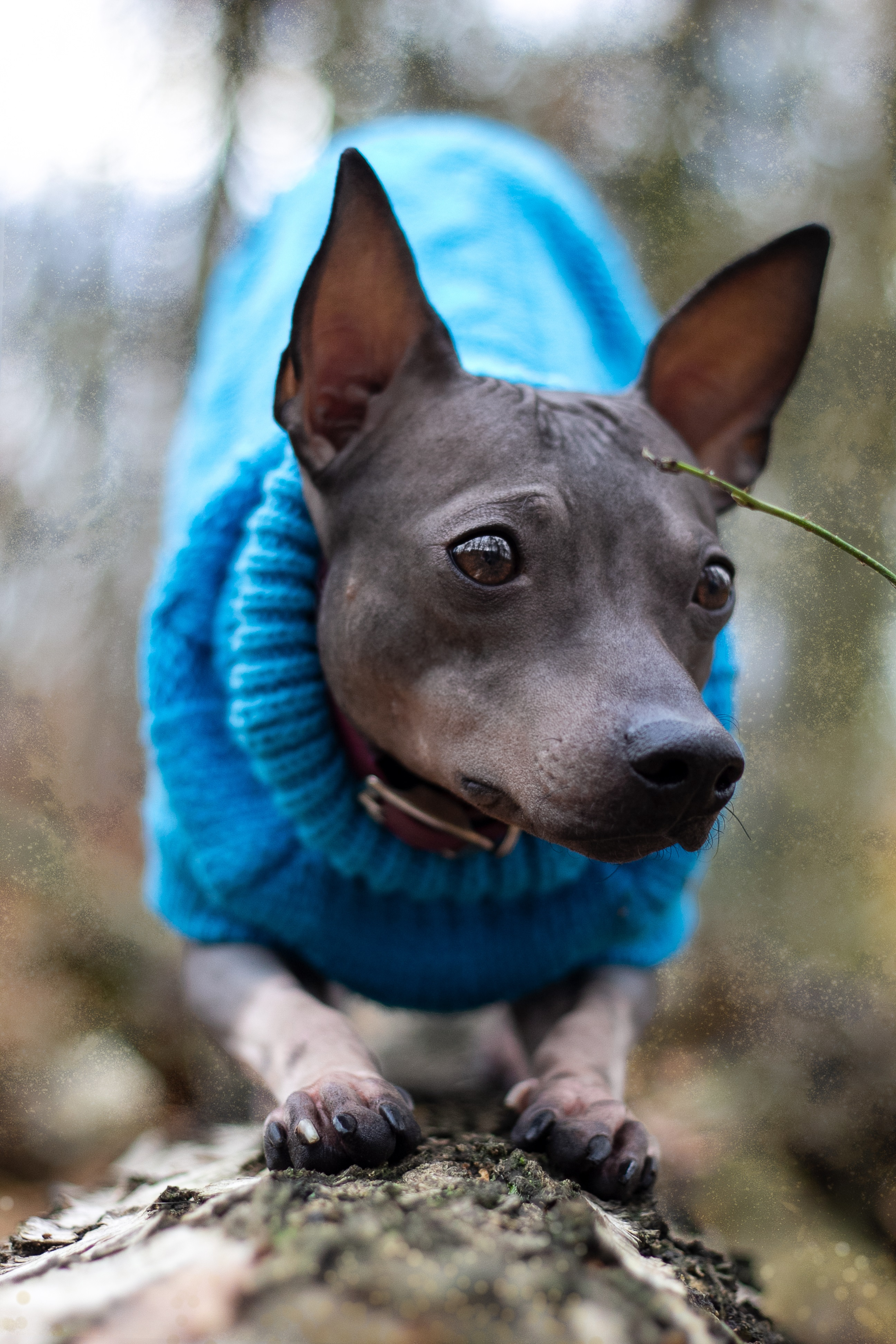 American Hairless Terrier Dog Breed Pictures